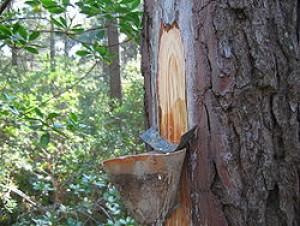 terpentin framställs av olika träslag